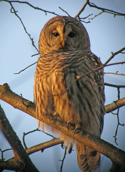 "Barred Owl 002<br /> <br /> The sun was setting giving the owl a warm glow. Barred Owls are common to northern Minnesota. I love the sound that they make. It sounds like ""Who cooks for you, who cook's for you all."""