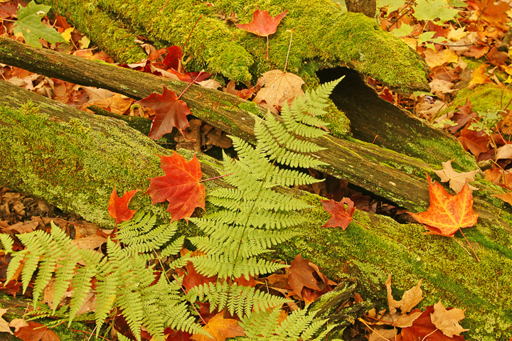 Ferns 002<br /> <br /> We came across these beautiful moss covered cedar logs covered by freshly fallen leaves.