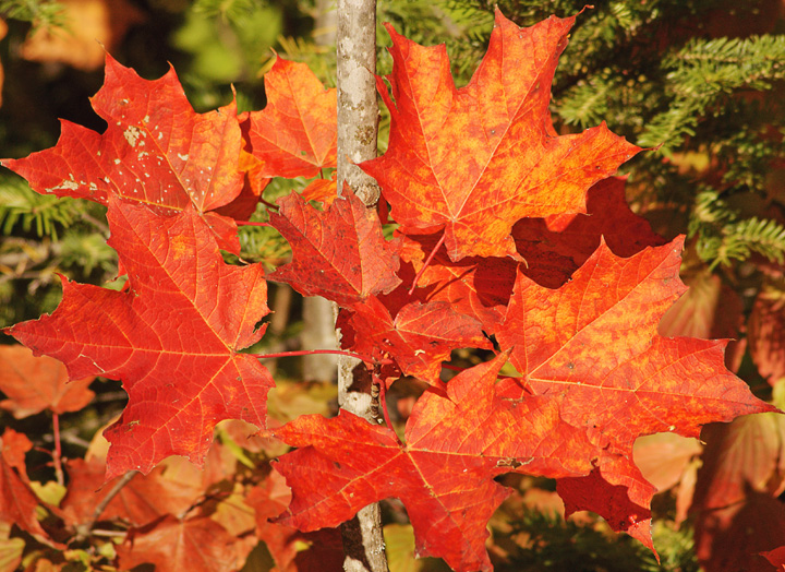 Red Maples<br /> <br /> The red maples are also starting to take on their beautiful fall colors.