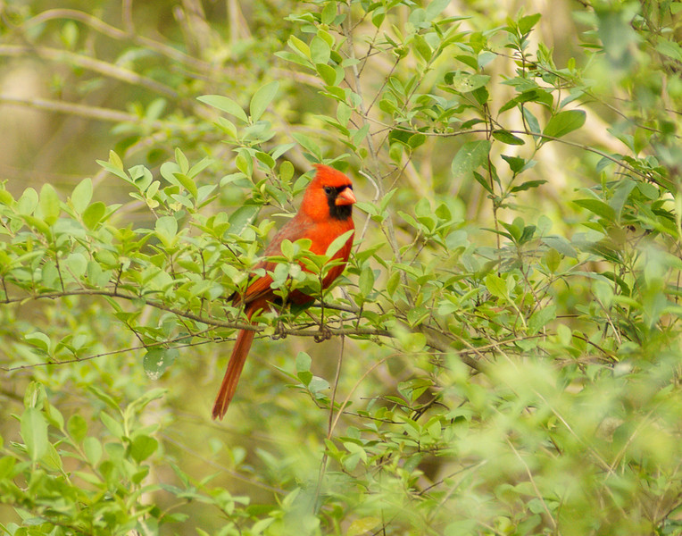 Male Cardinal<br /> <br /> One of my favorite birds is the cardinal. The male cardinal is so red that it really sticks out in the green vegetation.