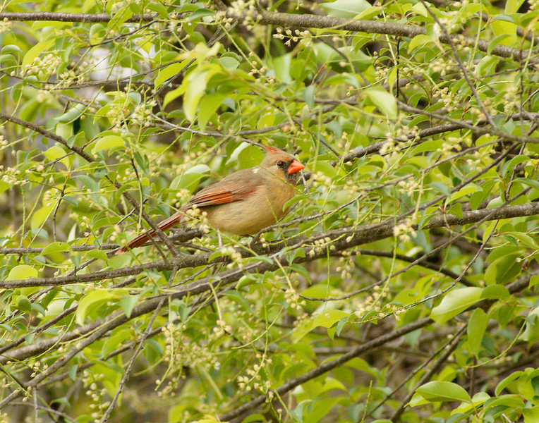 Female Cardinal<br /> <br /> You can see the difference in the female cardinal.