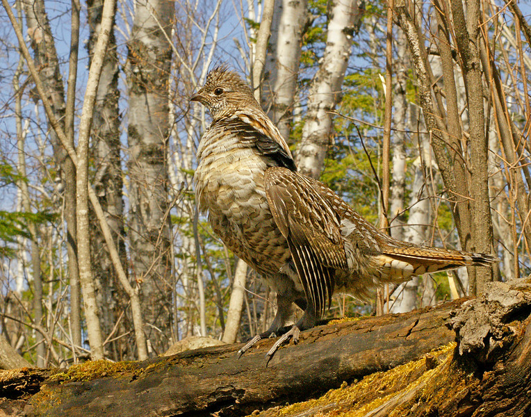 Ruffed Grouse 4<br /> <br /> Male grouse drum to tell other males that this is their territory and to stay away. They also drum to attract any females in the area. While drumming they puff up their chest and look very proud. When they are finished drumming, they look around to see if they have been successful in attracting a female.