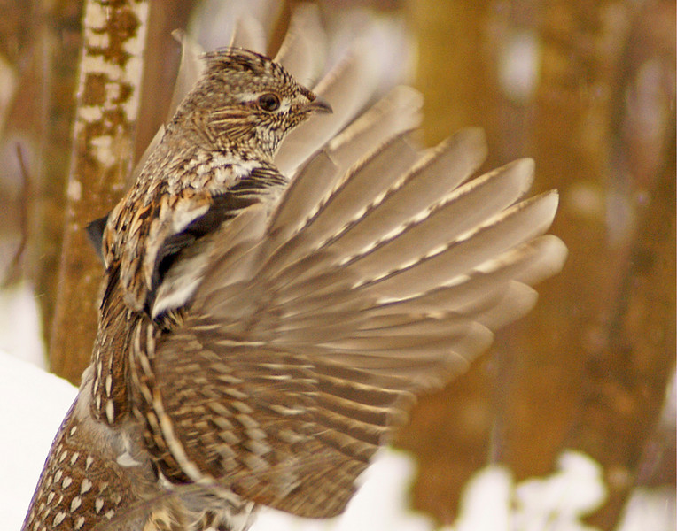 Ruffed Grouse 3<br /> <br /> It wasn't long before the snow began to melt so he could drum on his log.