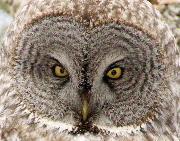 Great Gray Owl Closeup<br /> <br /> I tried squeaking like a mouse, snapping my fingers, and throwing cattail tops along the snow. Finally I moved my foot under the snow and the owl responded. For some reason that sound caused the owl to open its beautiful yellow eyes just long enough for me to get my photo.