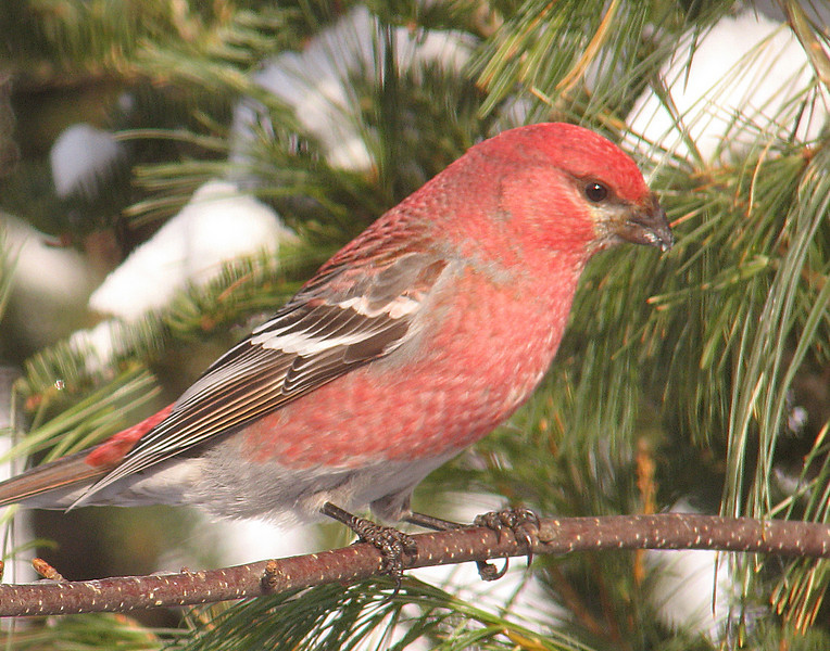 Pine Grosbeak<br /> <br /> We went from winter (30 below zero) earlier in the week to spring (40 above zero) today. With the spring warmth the wildlife are very active. This weekend, we had hundreds of birds at the feeders enjoying the sunshine.