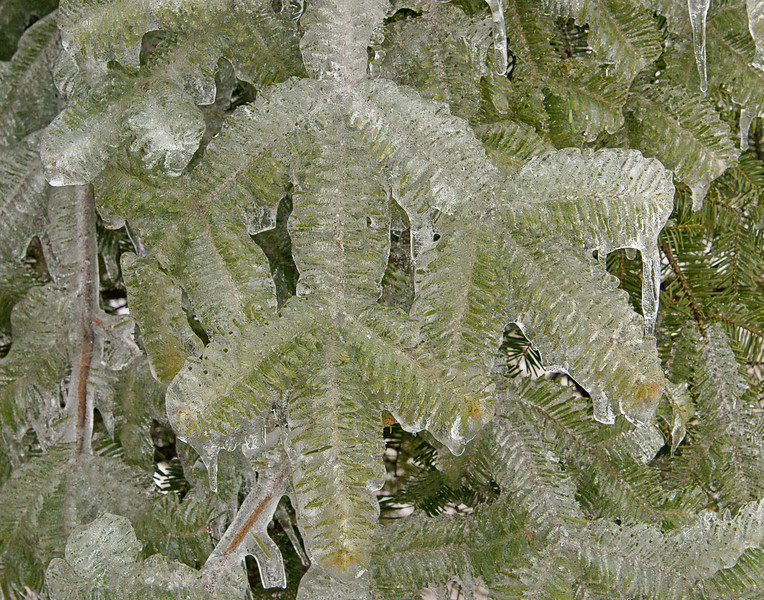 Ice Covered Spruce Needles<br /> <br /> The ice coated the branches of the trees.