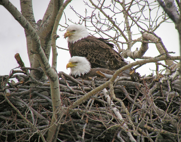 "Bald Eagle Nest at Cascade River State Park<br /> <br /> It always amazes me how wildlife handle storms. There is a pair of eagles sitting on eggs just south of Grand Marais in Cascade Rive State Park. Their tree was covered with ice but they took turns sitting on the eggs to protect their young. I visited the eagles after the storm and the tree survived. Both eagles were on the nest, one sitting on the eggs and the other busy eating a fish. If you are interested in a live video of an eagle's nest, there is a web cam at Sooner Lake near Stillwater, Oklahoma. It is fun to watch the adults feed the one eaglet that hatched a week ago. <br /> <br /> Click on this link to visit the site.   <a href=""http://www.suttoncenter.org/eaglecam.html"">http://www.suttoncenter.org/eaglecam.html</a>"
