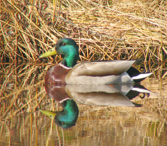Mallard Drake 2<br /> <br /> The best sounds are the spring peepers and the wood frogs as they sing their choruses each evening.