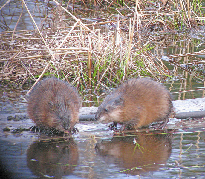 Muskrats<br /> <br /> Muskrats are on the move rebuilding their houses.