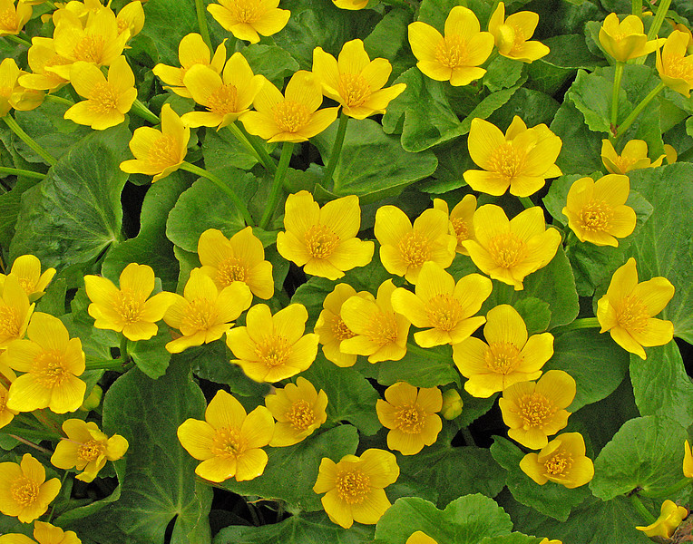 Marsh Marigolds 2<br /> <br /> The marsh marigolds seem to be the first to come out but their beauty doesn't last long.