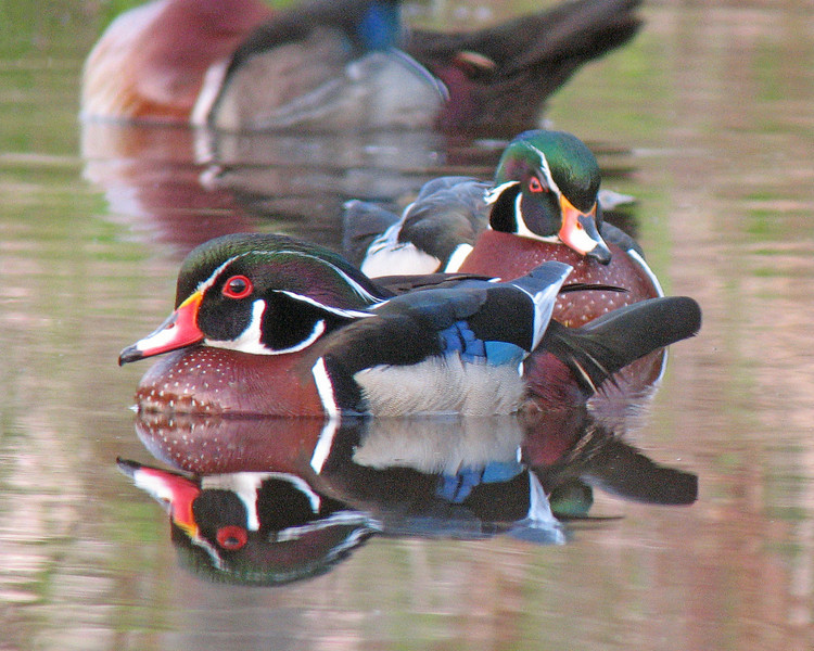 Wood Duck Reflections 2<br /> <br /> When the sun came over the horizon the wood ducks vibrant colors came to life. The calm water created reflections that made getting up that early worth the effort.