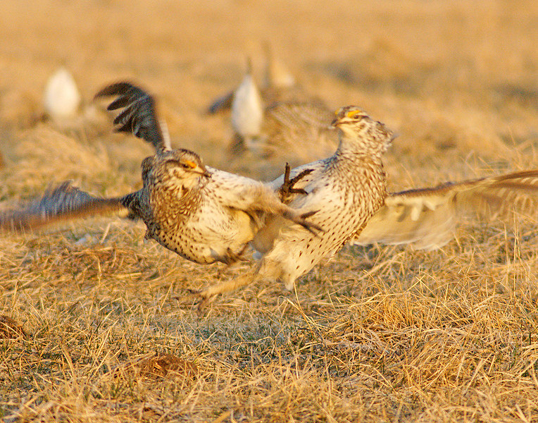 Male Sharped-tailed Grouse Fighting<br /> <br /> They will also sometimes give an uppercut trying to show dominance.