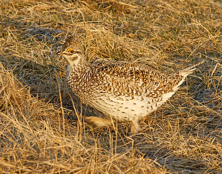 "Female Sharp-tailed Grouse<br /> <br /> I believe this is the female but they are very hard to tell apart other than the fact that only the males display. One morning Travis Novitsky was with me and took some video. This link will get you to that video.<br /> <br />  <a href=""http://travisnovitsky.smugmug.com/gallery/4207197_KrddQ"">http://travisnovitsky.smugmug.com/gallery/4207197_KrddQ</a>"