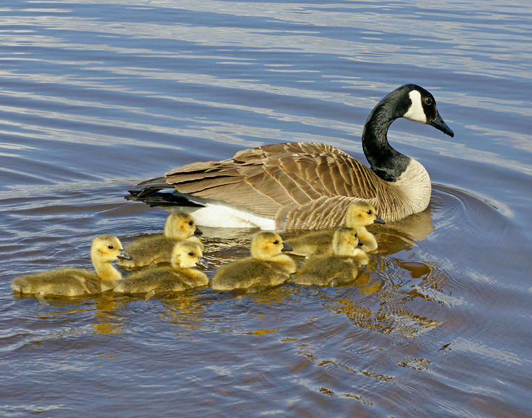 Canada Goose Family<br /> <br /> A family of Canada geese enjoying a pond in Tettegouche State Park.