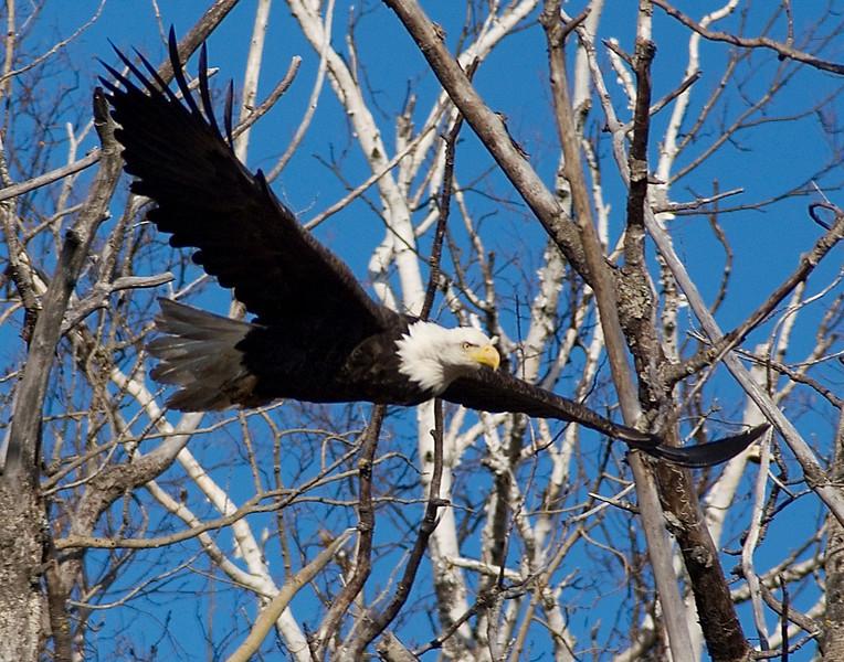 Bald Eagle 004<br /> <br /> I stopped after number 12. We do live in a wonderful area.