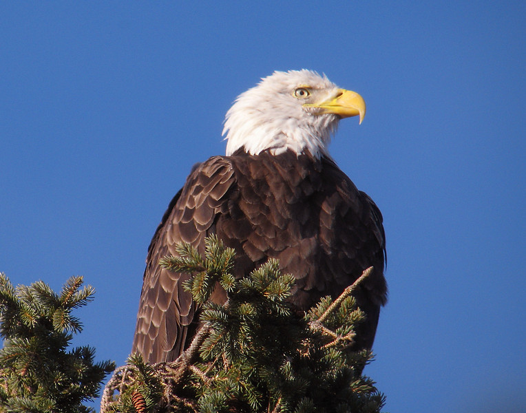 Bald Eagle 003<br /> <br /> After that experience I got to thinking how privileged we are here on the North Shore to see eagles almost everyday. Later as I traveled up the North Shore I decided to stop and photograph all the eagles that we saw.