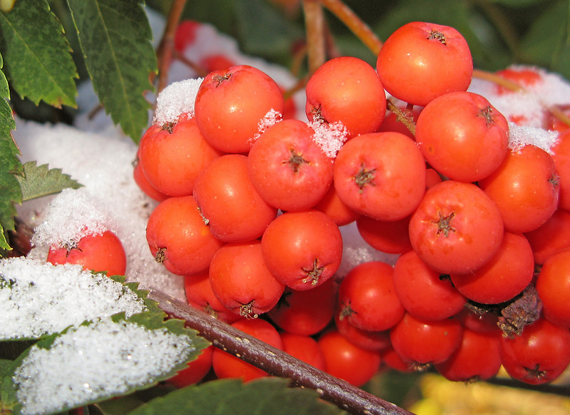 Mountain Ash Berries with snow<br /> <br /> Snow on the Mountain Ash made for some great photos.