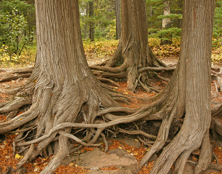 Cedar Roots Along the Gooseberry River<br /> <br /> The fall colors are now past peak along the North Shore.