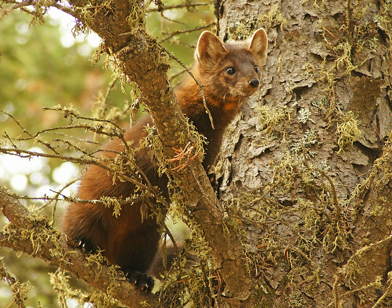 Pine Martin 002<br /> <br /> He let us take some good photos before climbing to the top of a tall spruce and bedding down in the fork of a branch. It appeared as though he would be there for some time so we continued on our way.