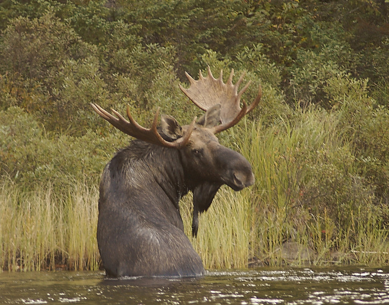 Bull Moose<br /> <br /> We waited until he got close to a small island to try and get some photos. Just as he stepped out of the water I called and he spun around and looked us right in the eyes