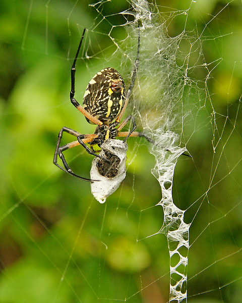 Yellow Garden Spider 005<br /> <br /> This spider, also called the writing spider, makes perfect W's or M's in the center of its web. Addie loved blowing on the spider which caused it to run to the side of its web and back again.