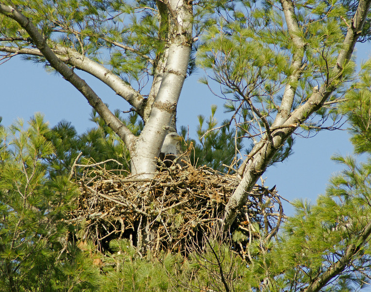 Bald Eagle Nest<br /> <br /> Upon returning home to Minnesota we found the bald eagles were nesting along the North Shore.