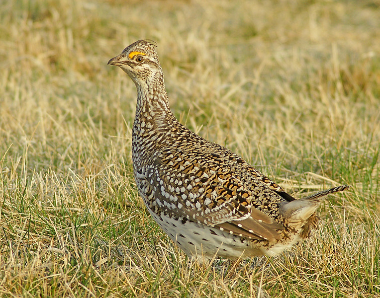 Sharp-tailed Grouse 001<br /> <br /> Sorry for being late this week.  As some of you know I was diagnosed with prostate cancer. Last week was spent in the hospital. I had a Radical Prostatectomy on Wednesday, April 21, and my prostate was removed. The next day was back to surgery again because of complications with the plumbing. <br /> <br /> Knowing that I was going to be spending a few days in the hospital I asked Jenny, Ruby, Kate and Steve if they wanted to take some photos from the sharp-tailed grouse blinds. It was a beautiful morning with clear skis and calm winds and the birds were dancing.