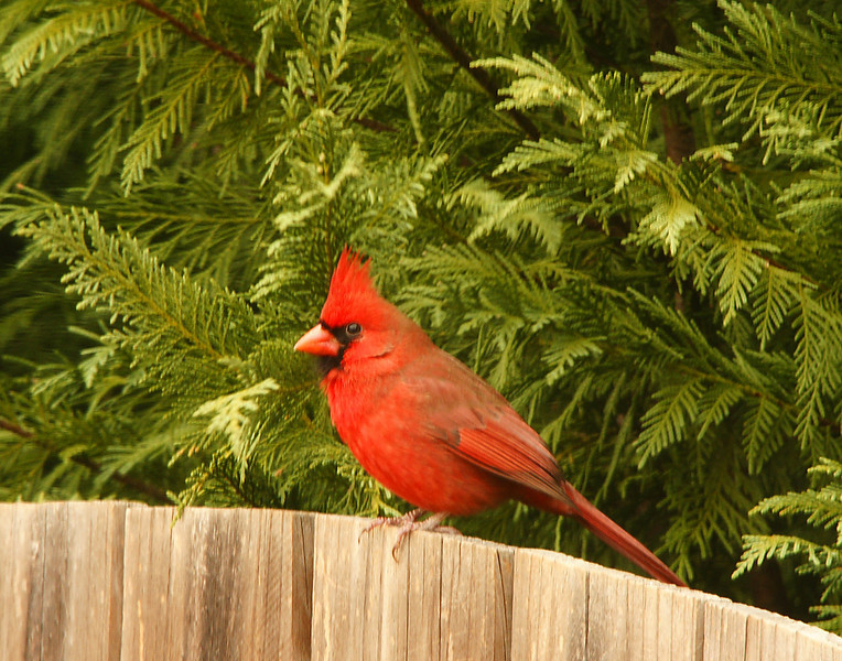 Cardinal<br /> <br /> Back home in Georgia Addie still loves being outdoors where she could show me the cardinals in her yard.