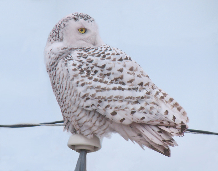 Snowy Owl 002<br /> <br /> I had never photographed a snowy owl. Each night like clockwork the snowy owl landed on the utility pole in front of the taconite plant. We think it is a female due to all the dark markings.