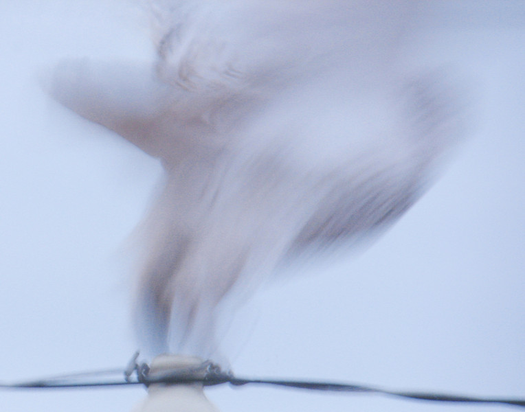 Ghost of the Northland<br /> <br /> Their ghostly white appearance makes the snowy owl unique among all the owls of the Northland. As winter sets in the snowy owl will migrate down from the arctic and start appearing on utility poles and in some open fields.