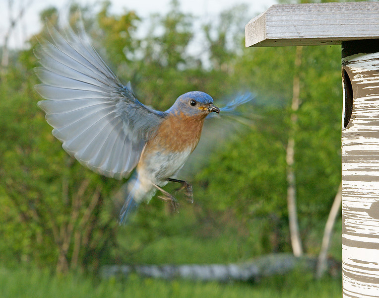 Eastern Bluebird 004<br /> <br /> It took quite a few attempts to get a good photo of the male bringing in food. It happens so quickly that the shutter must be tripped at the right fraction of a second to capture the wings fully extended.
