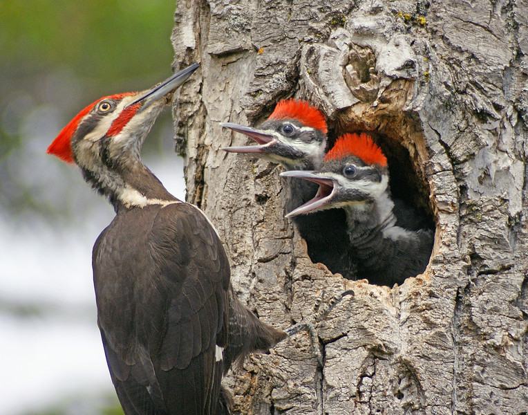 Pileated Woodpeckers 004<br /> <br /> They held out for three days giving park staff and park visitors the opportunity of a lifetime to see the adults feeding the babies.  Pileateds are the largest woodpecker in this area and are so fun to watch. The babies stuck their heads out of the nest constantly calling for food.