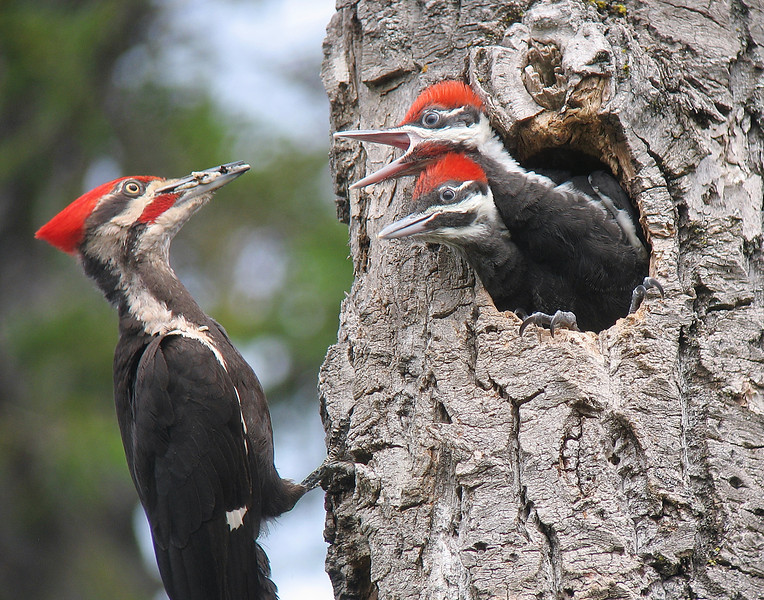 Pileated Woodpeckers 006<br /> <br /> Here you can see the adult male feeding the young. The male has the red mustache.