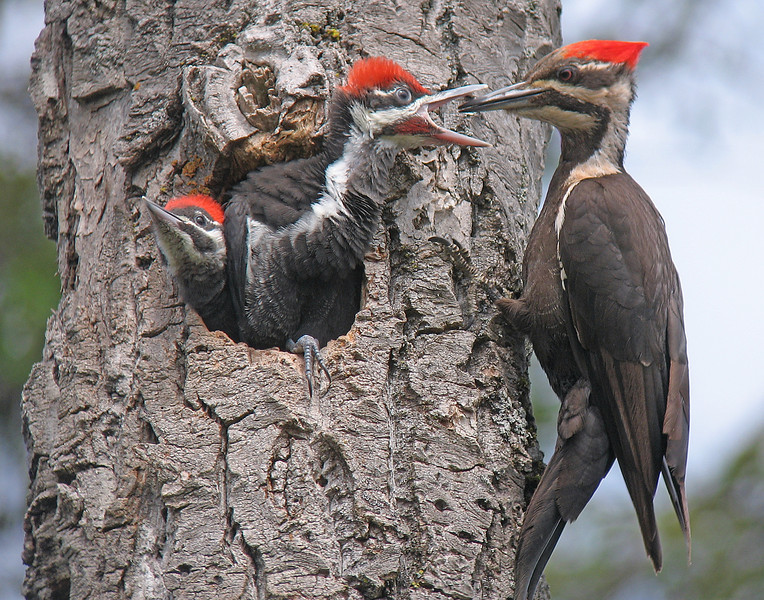 Pileated Woodpeckers 005<br /> <br /> When they get excited their red notch stands straight up. Both male and female feed the young. They bring food every 15 to 20 minutes. It takes a lot of ant larvae to satisfy their voracious appetites.