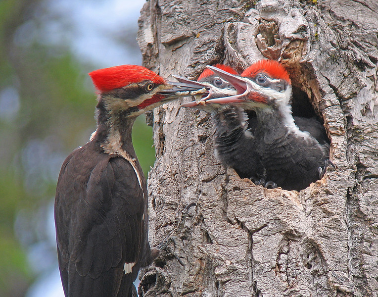 Pileated Woodpeckers 007<br /> <br /> Here he is regurgitating ant larvae into the mouth of the young female.