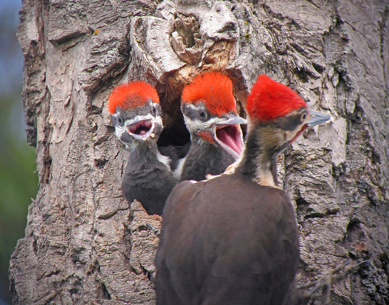 Pileated Woodpeckers 008<br /> <br /> This is one of my favorite photos of the series. They certainly look like excited teenagers.