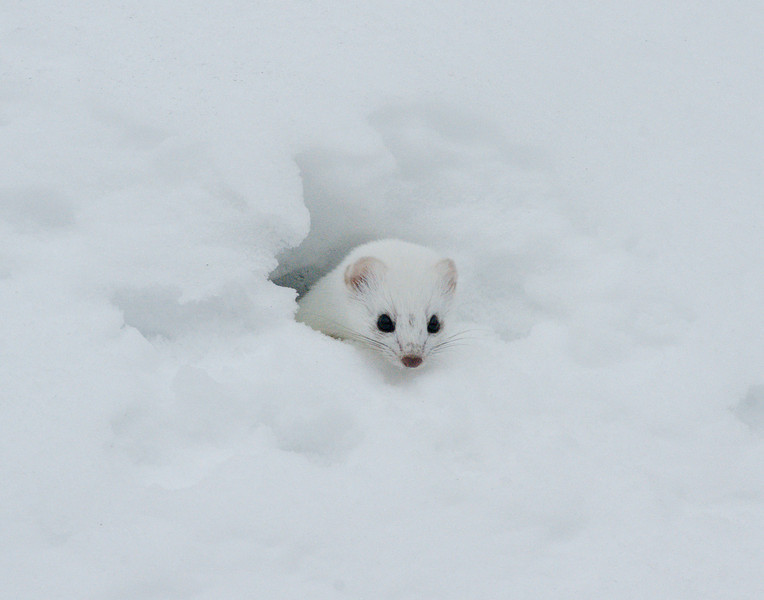 Weasel 001<br /> <br /> The most interesting critter to watch is the weasel. We saw it several times. Weasels are very fast. It kept popping its head out of the different holes in the snow.