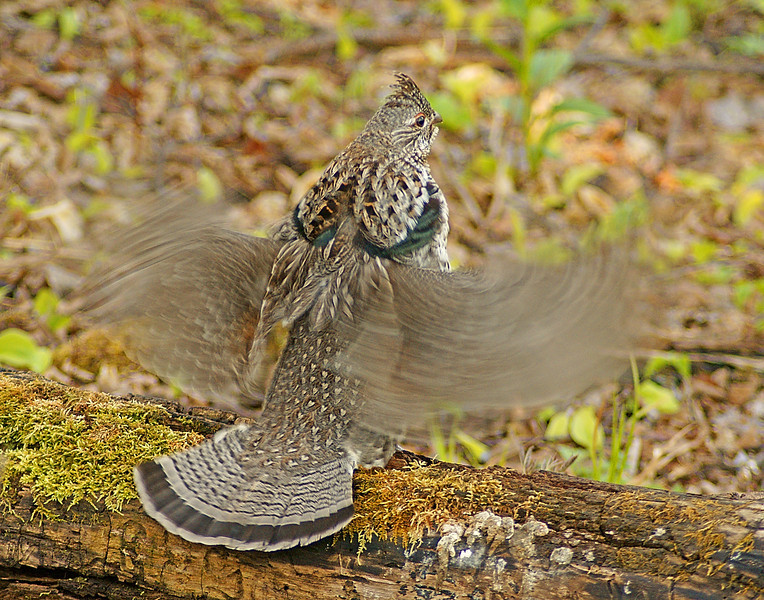Drumming Ruffed Grouse 002<br /> <br /> If you look closely at this photo you can see that the wings are moving very quickly and yet he can hold his head absolutely still.