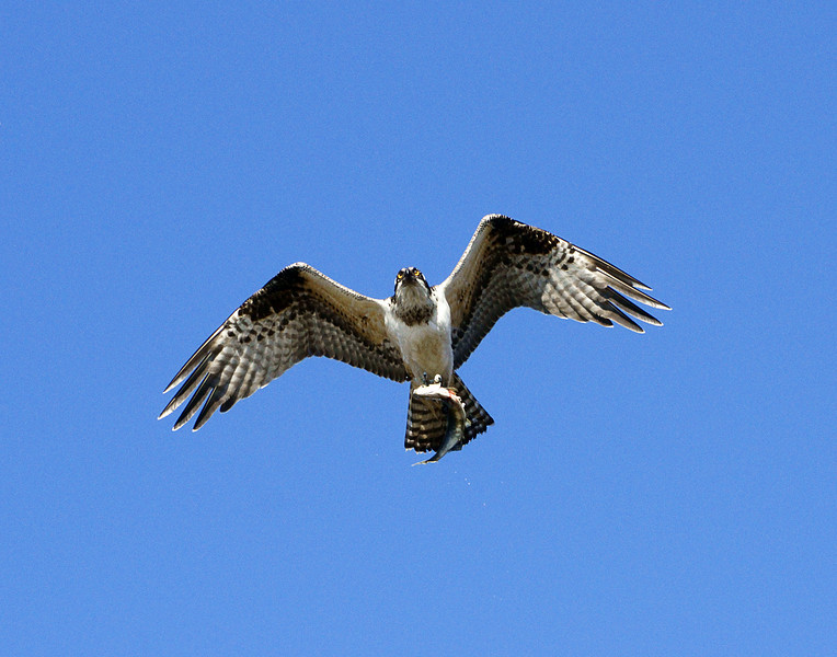 Osprey Carrying Salmon 001<br /> <br /> As we watched the salmon on the Cross River in Schroeder we heard a noise upstream.  An osprey dropped into the river gorge and snatched a small pink salmon from the shallow water. He flew right overhead as we watched in awe.