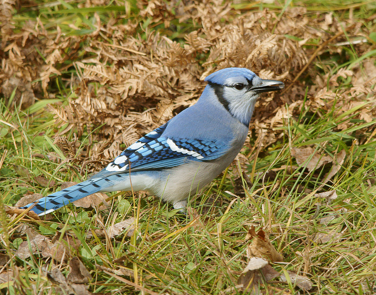 Blue Jay 002<br /> <br /> Some people don't like them because of their aggressive nature but the blue colors and patterns on their feathers are so beautiful. I suppose it helps that my favorite color is blue.