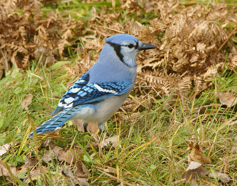 Blue Jay 001<br /> <br /> As late fall approaches the birds are becoming more active at the bird feeders. One of my favorite birds is the Blue Jay.
