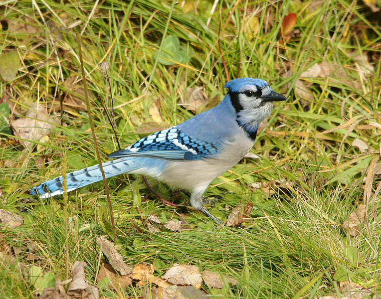 Blue Jay 003<br /> <br /> Four Blue Jays come to our feeders each day. Sometimes they chase the other birds away and other times they chase each other.