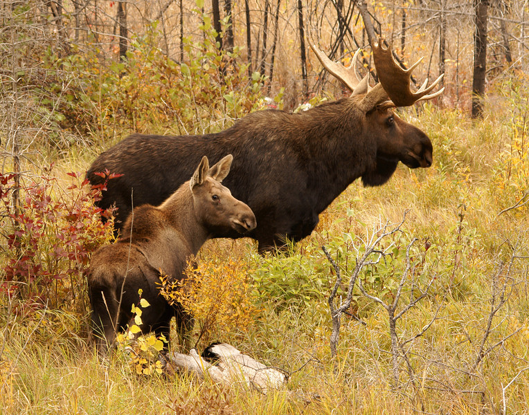 Bull Moose With Calf<br /> <br /> I watched them for about two hours before heading for home.