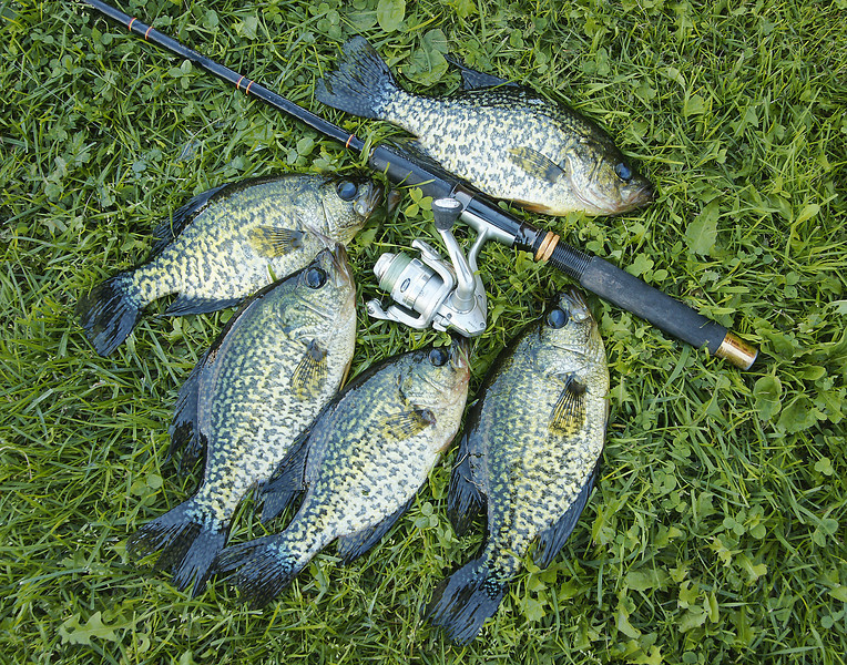 Crappies<br /> <br /> Together we got about two dozen nice crappies each day. A lunch of freshly caught crappie fillets and homegrown sweet corn was a great ending to a wonderful day of fishing in Minnesota.