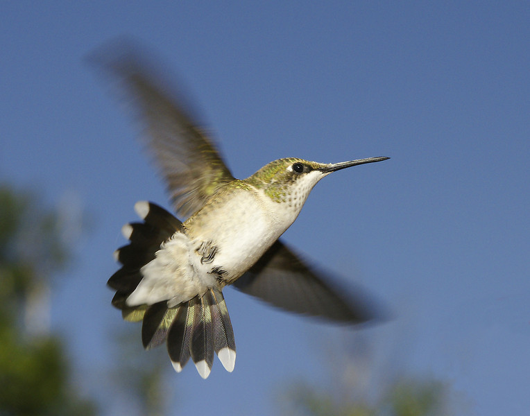 Female Hummingbird 002<br /> <br /> Half the time one will sit in the trees and as soon as another one comes in they give chase. I think they expend most of their energy each day fighting and chasing each other.