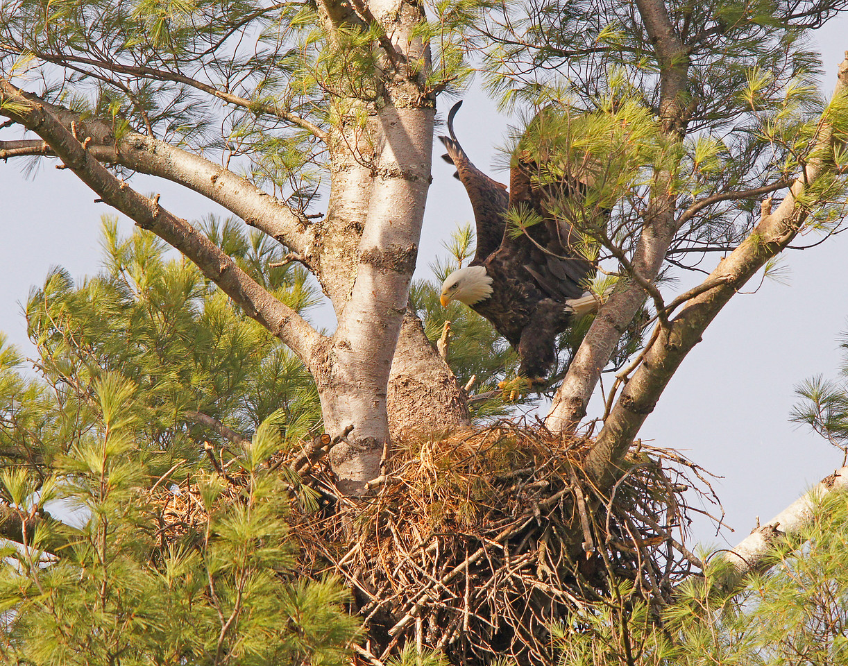 Bald Eagle Nest 002<br /> <br /> The pair had returned and appeared to be already sitting on eggs.