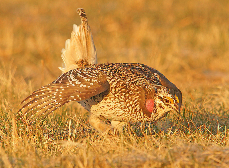 Sharp-tails 006<br /> <br /> I have photographed sharp-tailed grouse for several years and never tire of watching them dance.