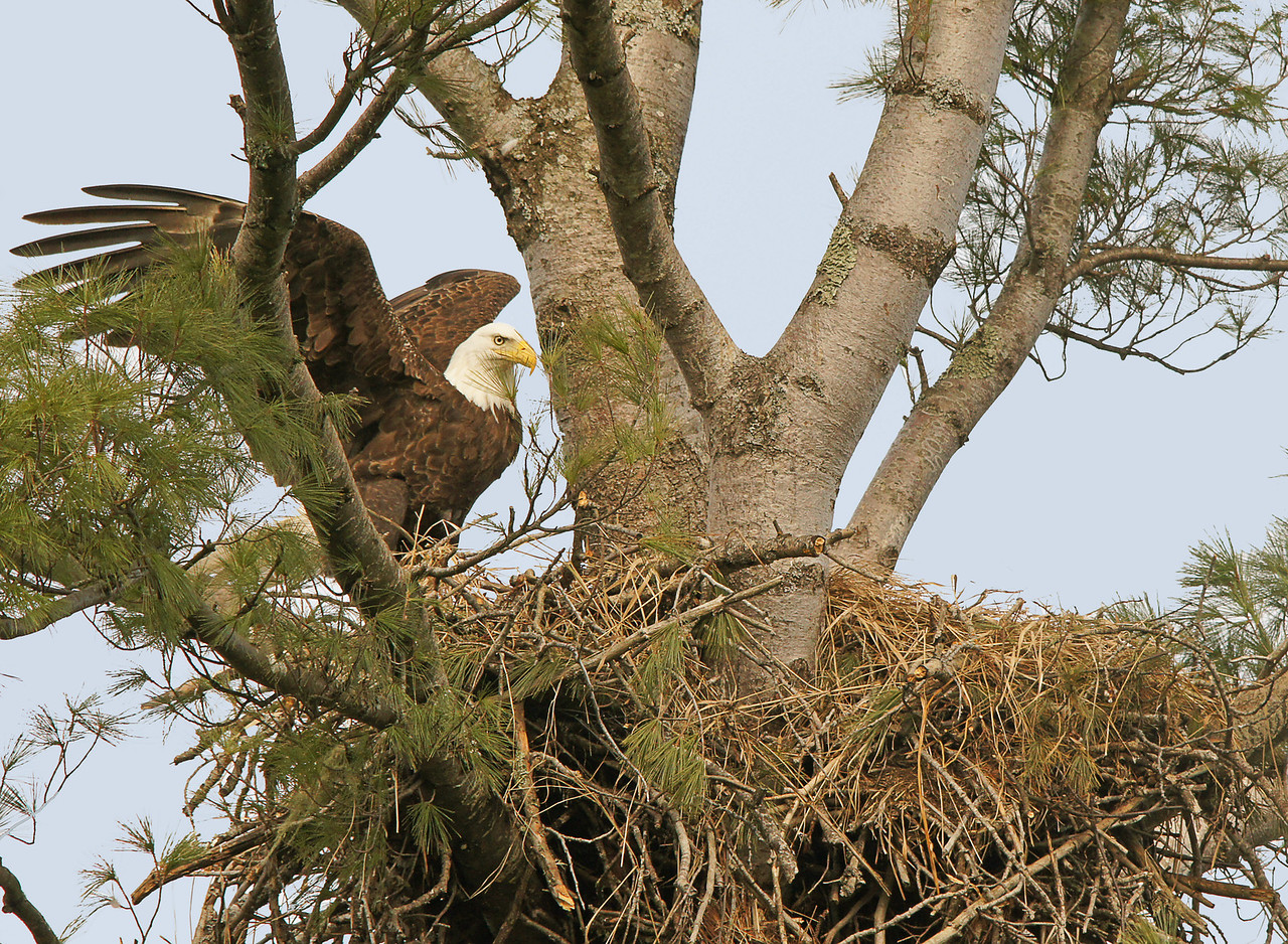 Bald Eagle Nest 001<br /> <br /> On our way home we checked a bald eagle's nest that we photographed last year.