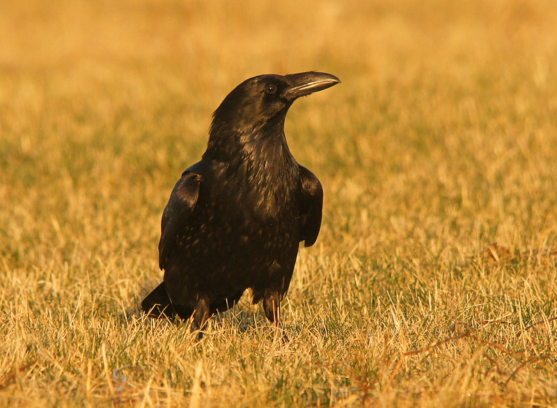 Raven<br /> <br /> We didn't see any predators but a group of five ravens dropped in on the grouse and made them scatter in all directions. After the ravens flew off the grouse were back in minutes.