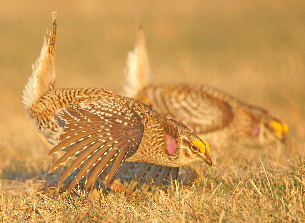 Sharped-tailed Grouse 002<br /> <br /> This is my favorite. It is like looking into a mirror.